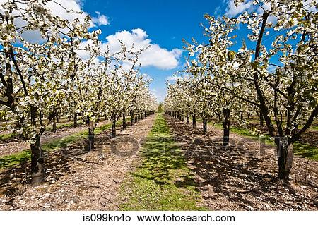 Stock photo of apple trees in blossom in orchard is099kn4o for Apple tree mural