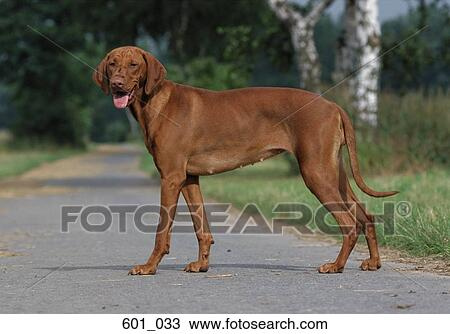 Stock Photo of Vizsla 601_033 - Search Stock Images, Poster ...
