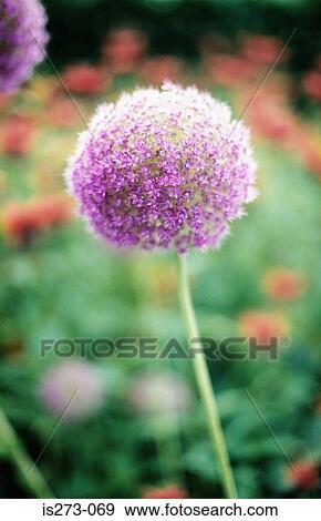 Archivio fotografico aglio pianta is273 069 cerca for Aglio pianta