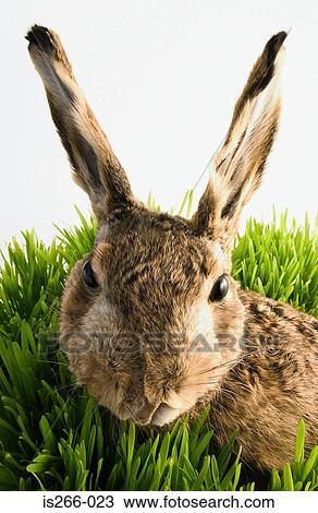banque de photo lapin dans herbe is266 023 recherchez des images des photographies et des. Black Bedroom Furniture Sets. Home Design Ideas