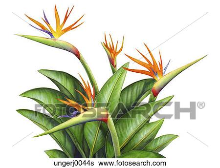 Paradijsvogel plant kopen