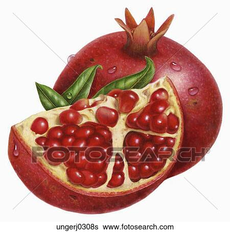 Clip Art Pomegranate Clipart stock illustration of pomegranate ungerj0308s search clip art fotosearch drawings fine prints
