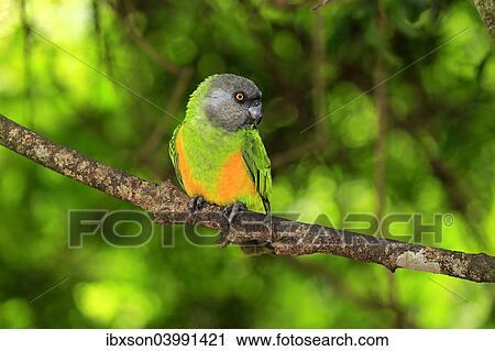 banques de photographies senegal perroquet poicephalus senegalus adulte arbre captive. Black Bedroom Furniture Sets. Home Design Ideas