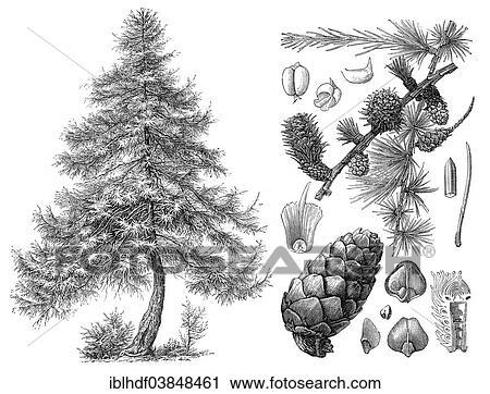 落叶松, 针叶树, 锥形物, 黑白, 图象图像相片照片照相摄影图片图画图片