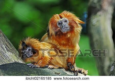 the main features of golden marmosets Start studying primates first exam learn vocabulary what are the 7 characteristics of marmosets and tamarins 1) what are their main characteristics.
