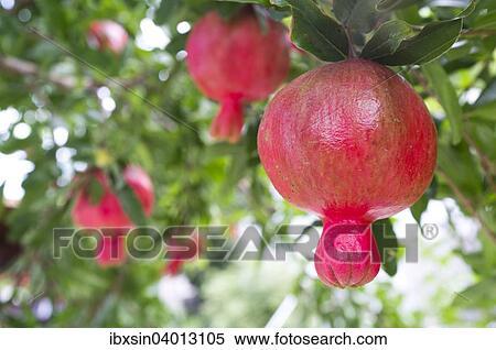 früchte wachsen am baumstamm