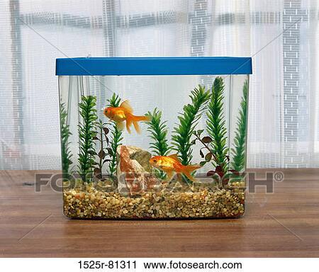 Stock photography of two goldfish in an aquarium 1525r for Aquarium 96l poisson rouge