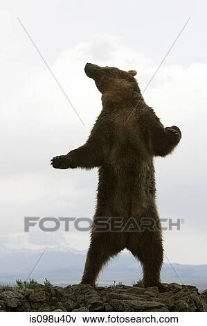 Picture of Grizzly bear standing up is098u40v - Search ...