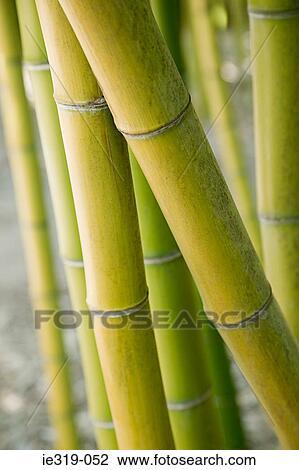Archivio fotografico bamb pianta ie319 052 cerca for Pianta bambu prezzo