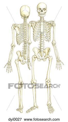 Stock Illustration Of A Front And Back View Of A Skeleton Dyi0027