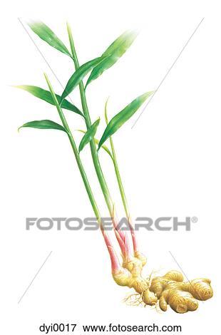 banque d 39 illustrations une illustration de a gingembre plante dyi0017 recherche de. Black Bedroom Furniture Sets. Home Design Ideas