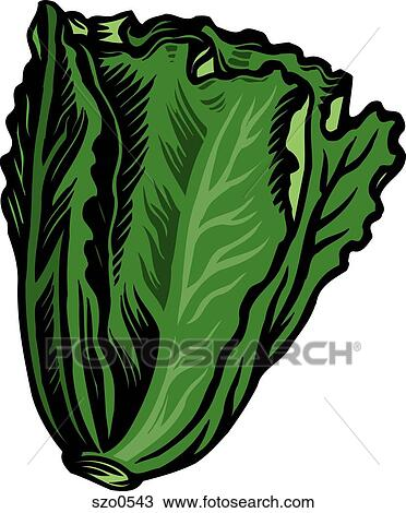 drawing of fresh green romaine lettuce represented on a