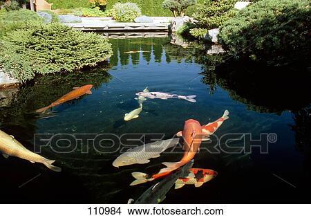 Archivio fotografico fish carpa koi 110984 cerca for Carpa giapponese prezzo