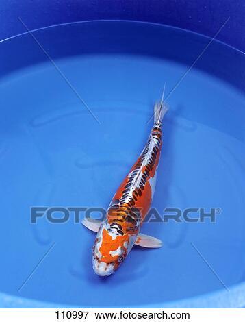 Picture of fish carp koi hi shusui 110997 search for Carpe koi shusui