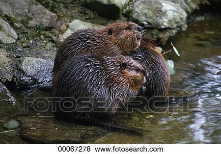 Pictures of Castor, Castoridae, Eurasian, Eurasian beaver ...