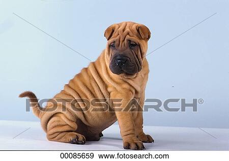 Chinese Fighting Dog