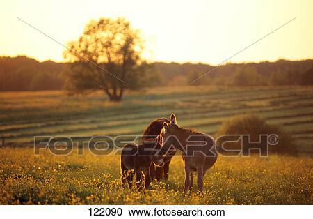 免版税(rf)类图片 - poitou, 驴, 带, 驹, 在上, 草地.