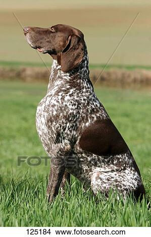 Stock Photo of German Shorthaired Pointer - sitting lateral 125184 ...