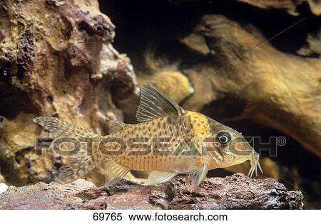 Catfish Information In Hindi