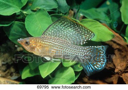 Molly Poecilia Red Sailfin Molly / Poecilia