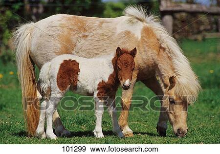 stock fotograf mini shetland pony stute mit fohlen 101299 suche stock fotografie. Black Bedroom Furniture Sets. Home Design Ideas