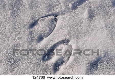 Banque d'Images - piste, de, chevreuil, cerf, dans, neige 124766 ...