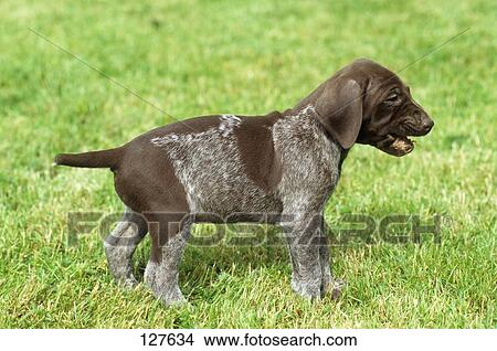 Stock Photo of German Shorthaired Pointer - puppy on meadow 127634 ...