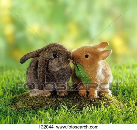 stock foto dwergkonijn en lop eared dwerg konijnen munching 132044 zoek foto 39 s. Black Bedroom Furniture Sets. Home Design Ideas