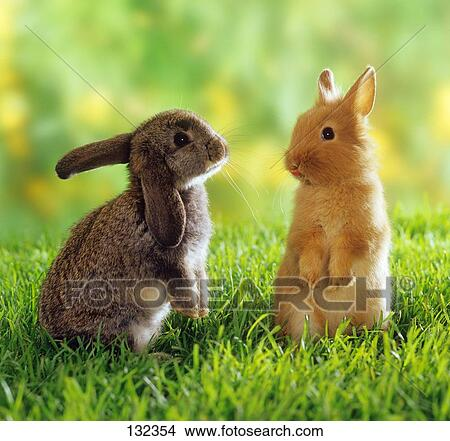 stock photo of lop eared dwarf rabbit and dwarf rabbit on meadow 132354 search stock images. Black Bedroom Furniture Sets. Home Design Ideas