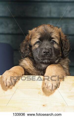 Banco de Imagens - Leonberger, -, filhote cachorro, -, retrato ...