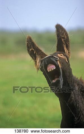免版税(rf)类图片 - poitou, 驴, -, 肖像.