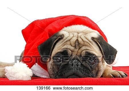 stock bilder weihnachten mops mit weihnachtsmann. Black Bedroom Furniture Sets. Home Design Ideas