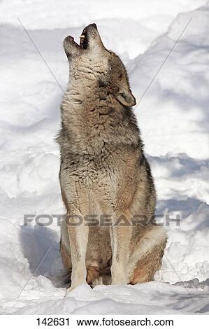 Stock Photography of european wolf - sitting in snow