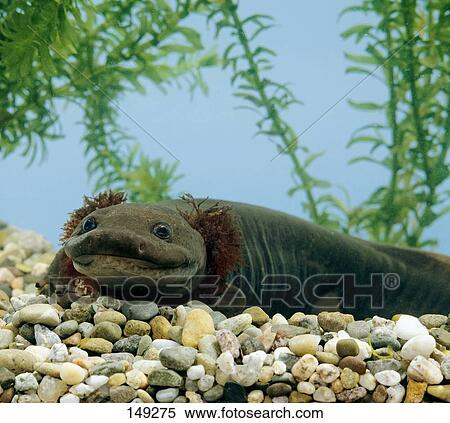 pacific giant salamander drawing  Stock Image - Pacific