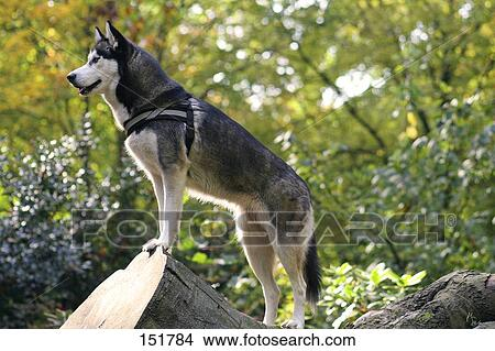 Stock Photo of Siberian Husky dog standing on trunk 151784 ...