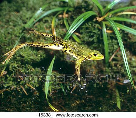 片 可食用, 青蛙, , 跳跃 153381 153381.JPG