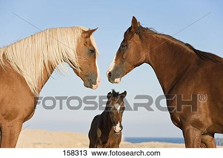 Stock Photo of Barb horse - stallion, mare and foal 158313 ...