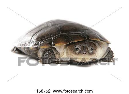 Archivio fotografico africano helmeted tartaruga for Tartaruga di palude
