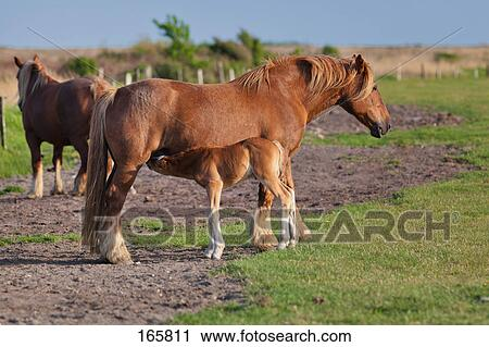 Stock Photography of Schleswiger Heavy Draft horse - mare suckling ...