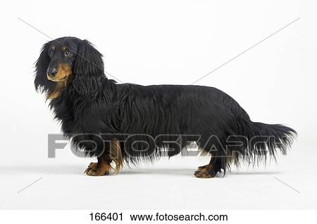 Stock Photography of Long-haired Dachshund (Canis lupus familiaris ...
