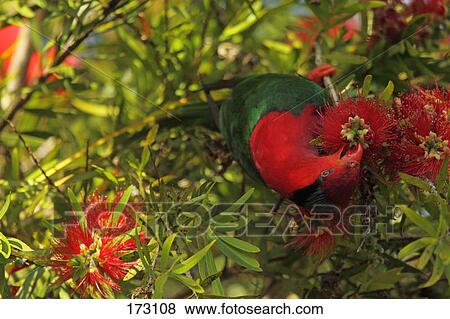 images papuan lorikeet charmosyna papou adulte manger nectar et pollen depuis. Black Bedroom Furniture Sets. Home Design Ideas