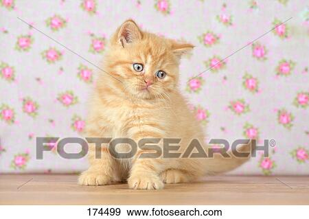 Stock Photograph of Domestic Cat, mixed-breed cat (British ...