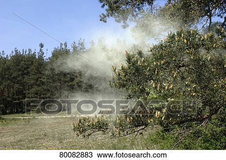 Pinus Sylvestris Pollen Pine Pinus Sylvestris
