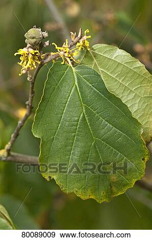 Stock Photograph of DEU, 2009: Witch Hazel (Hamamelis virginiana). Twig with green ...
