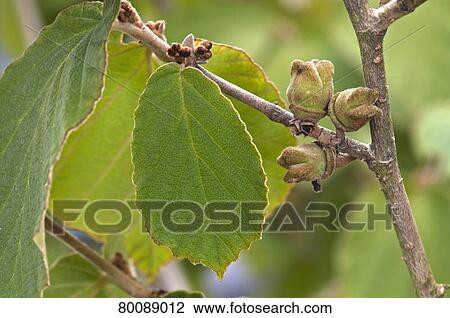Stock Photo of DEU, 2009: Witch Hazel (Hamamelis virginiana). Twig with green leaf and ...