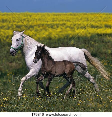 banque d 39 images pur espagnol cheval andalusian gris jument poulain trot devant a. Black Bedroom Furniture Sets. Home Design Ideas