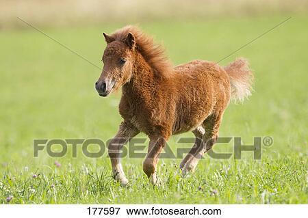 bild miniatur shetland pony kastanie fohlen galoppieren auf a wiese 177597 suche. Black Bedroom Furniture Sets. Home Design Ideas