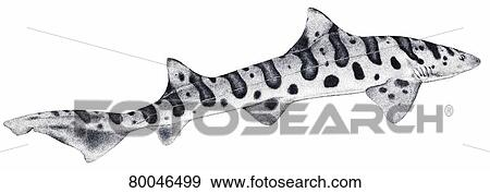 Zebra Shark  Triakis