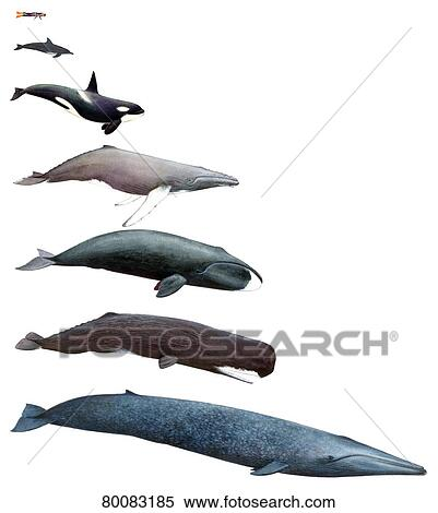 stock image of human homo sapiens sapiens bottlenose dolphin tursiops truncatus killer. Black Bedroom Furniture Sets. Home Design Ideas