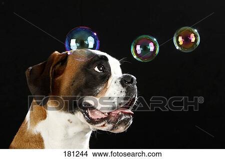 banque de photo boxer portrait de adulte chien regarder flotter savon bubbles. Black Bedroom Furniture Sets. Home Design Ideas
